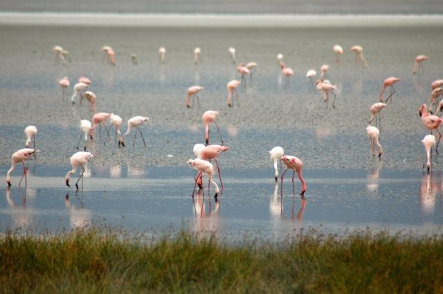 Os flamingos cor-de-rosa.