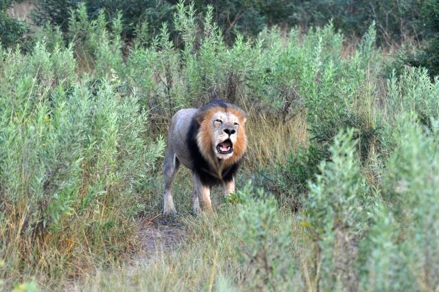 Um grande Leão solteiro.