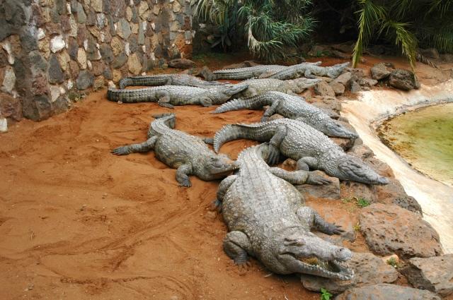 A fazenda de crocodilos.