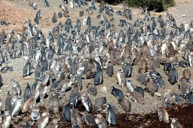 A colônia de pinguins-de-magalhães de Punta Tombo.