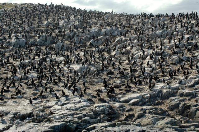 A Ilha dos Pássaros com os cormorões.