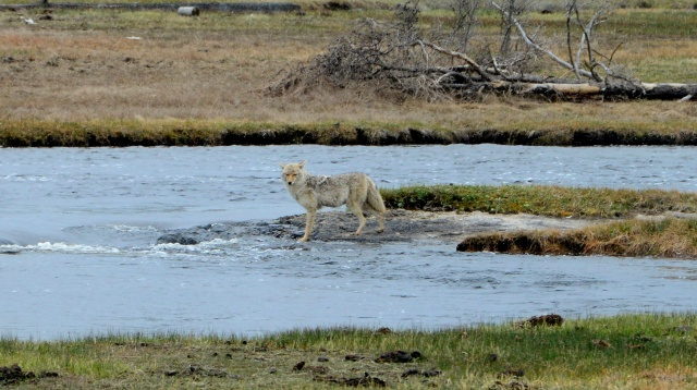 Encontramos os primeiros lobos no Yellowstone.