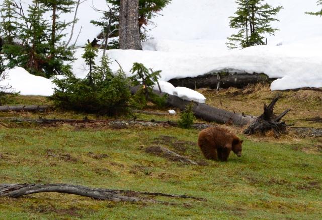 Encontramos o Urso Pardo.