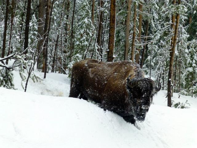 O bisão atolado na neve.