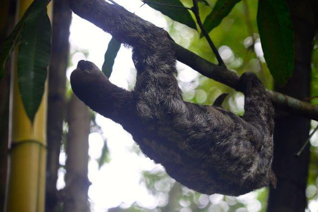 A preguiça solta no zoológico do Hotel Tropical de Manaus.