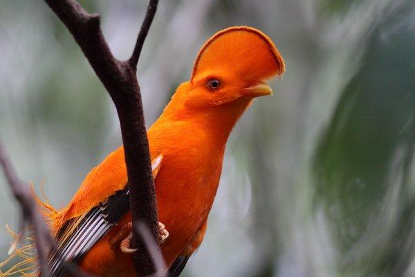 Galo da serra - foto do site www.evoluahomosapiens.blogspot.com