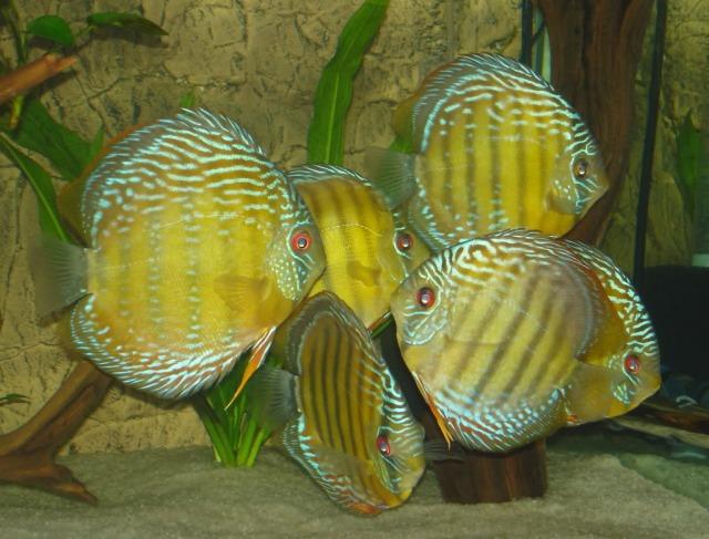 Acará Disco - Foto do site www.forumacaradisco.com.br