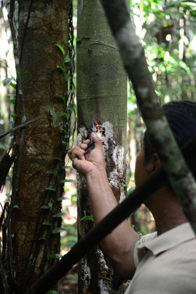 O conhecimento indígena  é essencial para a identificação dos produtos amazônicos.