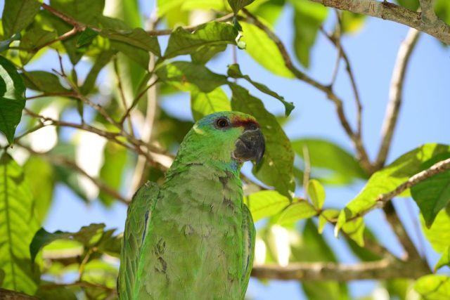 Aves e pássaros da Amazônia