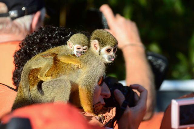 Os macacos entram nos barcos e interagem com os turistas.