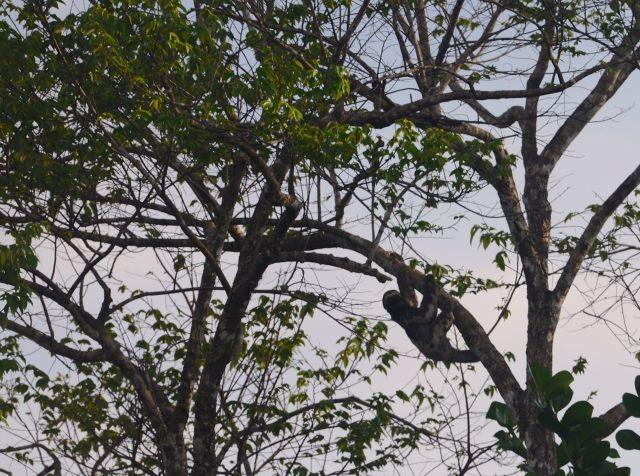O Bicho-preguiça na copa das árvores.