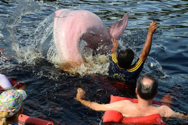 O salto do boto-cor-de-rosa