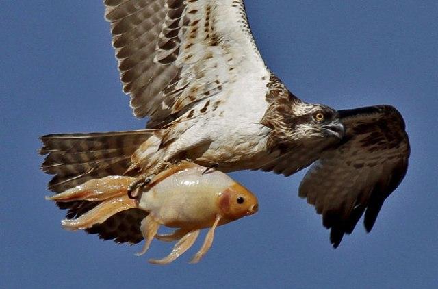 Águia pescadora - foto do site www. colunas.globorural.globo.com