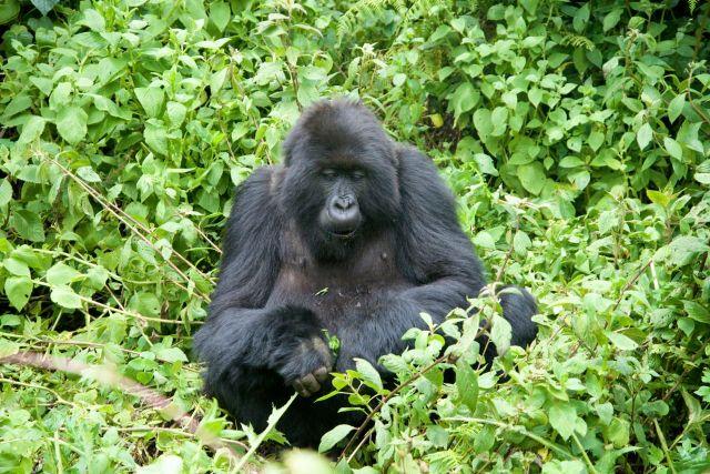 Os Gorilas das Montanhas