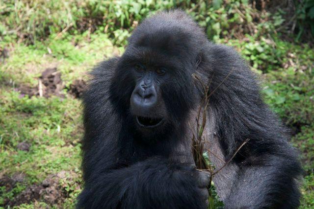 A fama de mal dos gorilas não corresponde à realidade.