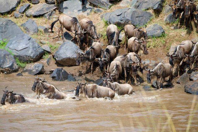 A travessia dos Gnus no Rio Mara, no Quênia.