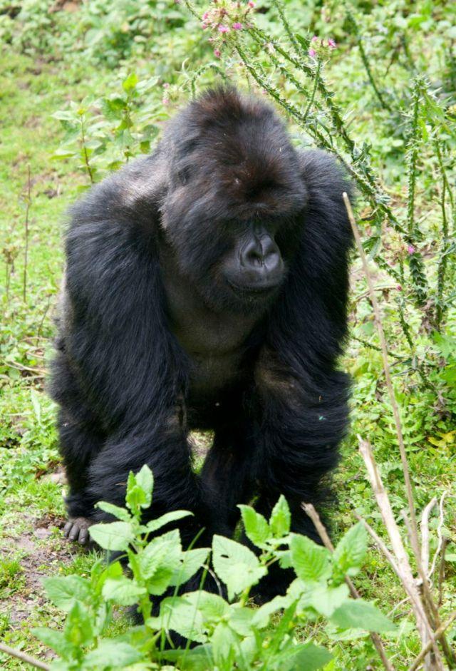 O gorila-das-montanhas.