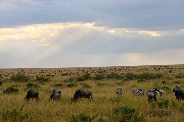 A pastagem abundante das savanas atrai grandes manadas.