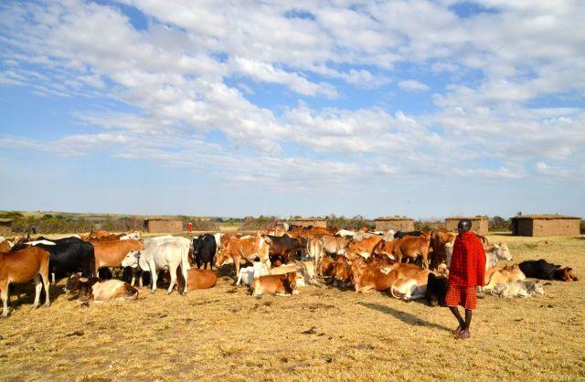 Os Masai são criadores de gado.