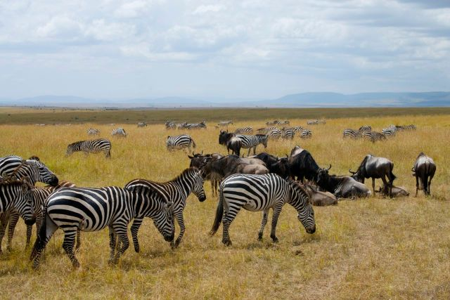 Zebras e gnus pastam juntos.