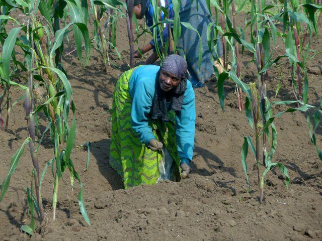 Cultivo do milho na beira da estrada em Kinigi.