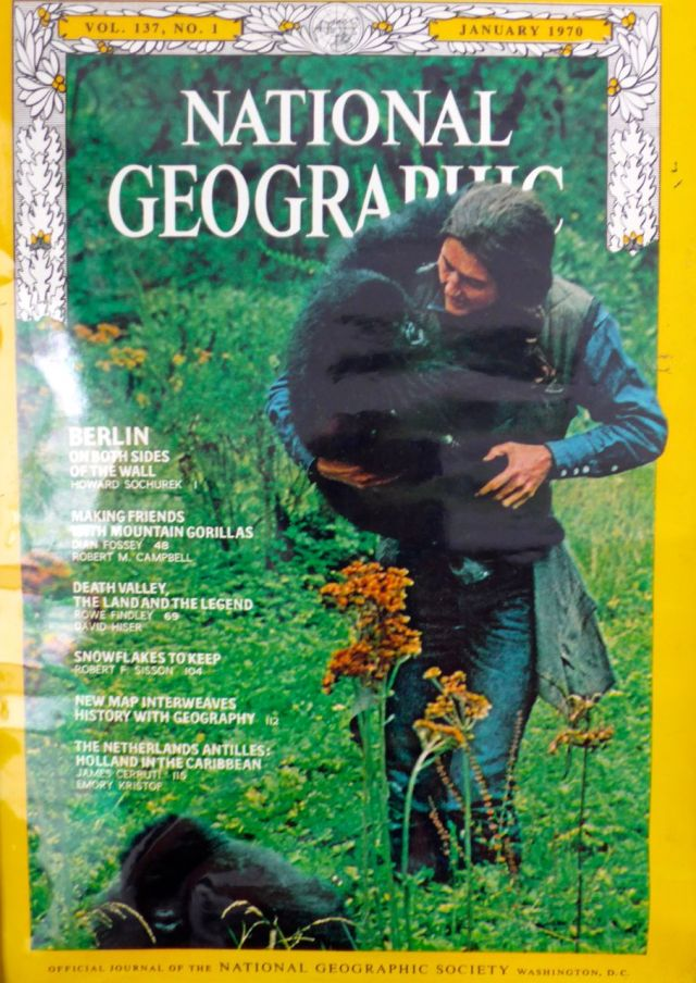 Uma das capas do trabalho da Dian Fossey, divulgado pela National Geographic Magazine em janeiro de 1970.