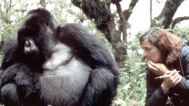 Digit, o gorila preferido da Dian Fossey.
