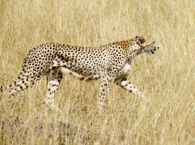 O guepardo costuma caminhar pelas savanas.