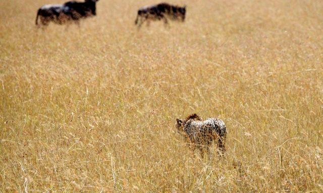 Os gnus percebiam a aproximação do guepardo e se afastavam.