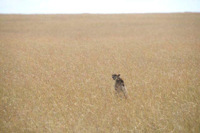 O guepardo se sentinela no meio da savana.