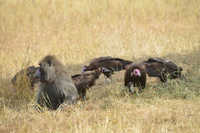 Os abutres cercavam o babuíno doente.