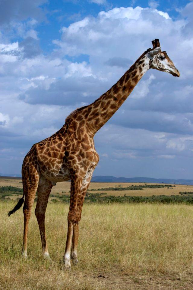 As girafas podem chegar a 6 metros de altura.