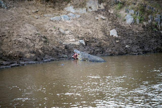 O crocodilo-do-nilo