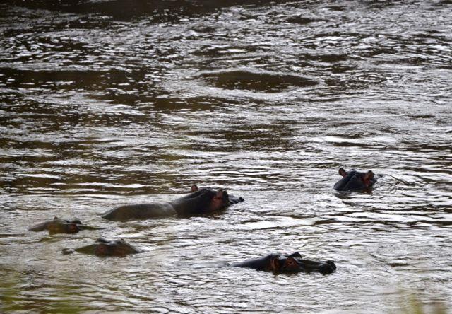 Hipopótamos do Rio Mara