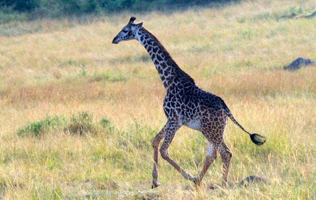 "A girafa estava ""abrindo alas"" para o nosso safari."