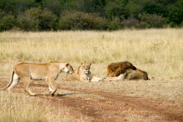 Um grupo de leões reinava absoluto na savana.