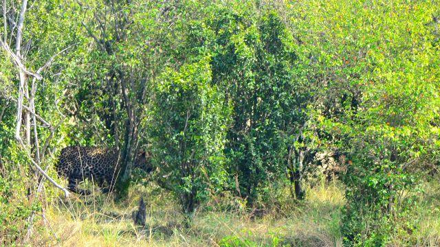 O leopardo camuflado na beira do rio.