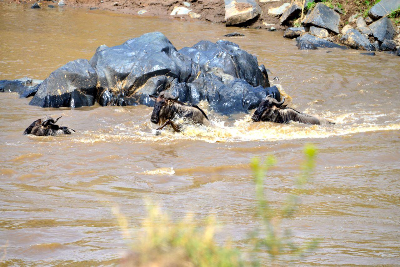 Alguns animais morrem na tentativa de atravessar o rio.