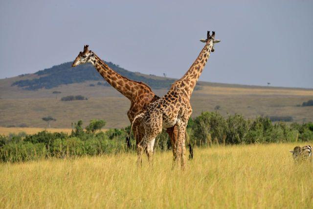 As girafas formam um belo espetáculo.