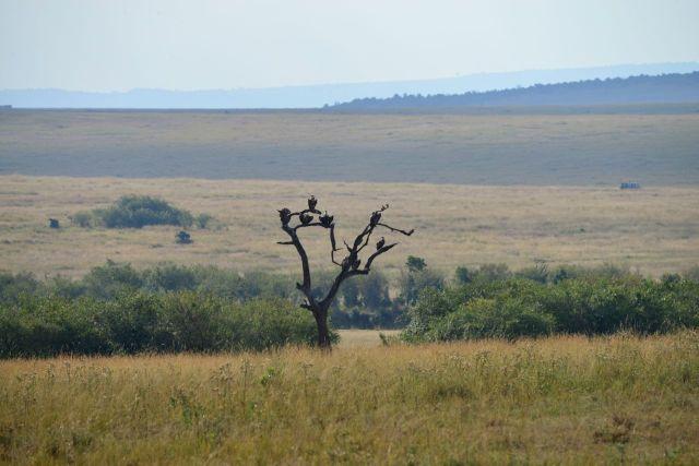 Os abutres montam sentinela no alto das árvores.