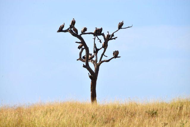 Os abutres concluem o serviço da batalha épica.