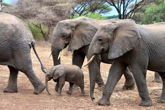 O pequeno elefante na Tanzânia.