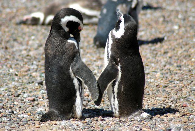 Os pinguins de magalhães na Terra do Fogo, no sul da Argentina.