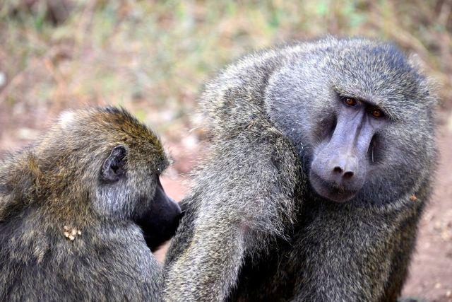 O babuíno-verde.