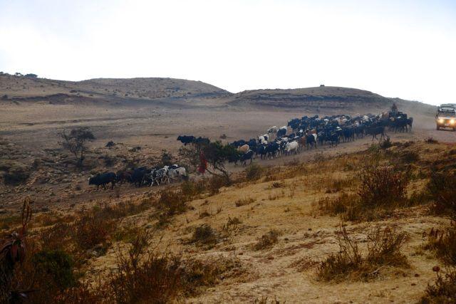 Os rebanhos dos Masai seguem para o interior da Cratera.