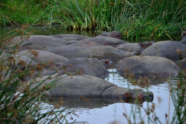 Hipopótamos.