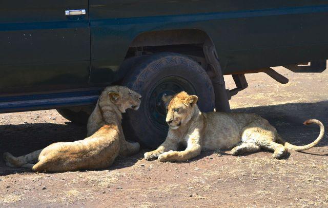 Os jovens leões na sombra do carro de safari.