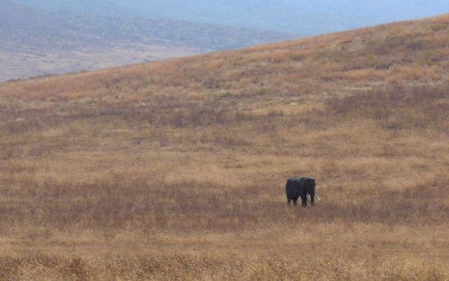 Um velho elefante macho e solteiro.