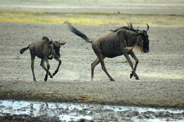 Os gnus fazem a Grande Migração.