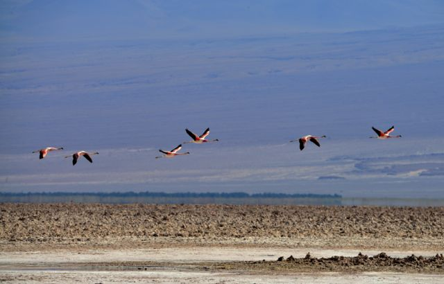 O voo dos flamingos no Atacama.